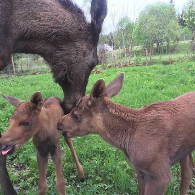 Come close to a moose